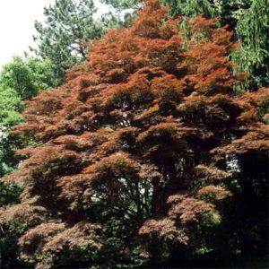 Acer palmatum atrolin