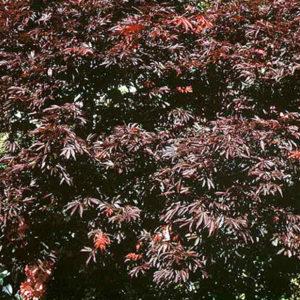Acer palmatum beni kagami