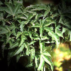 Acer palmatum crisp