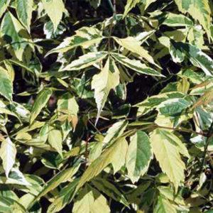 Acer negundo aureomarginatum